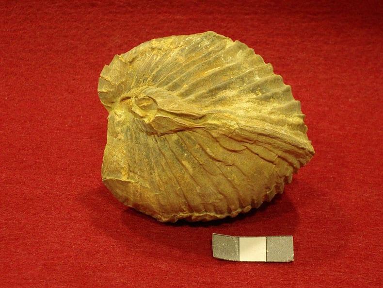 Los bivalvos fósiles serán protagonistas de una exposición que se inaugura este viernes