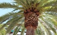 Las palmeras de Jumilla recibirán el tratamiento contra el picudo rojo los próximos lunes y martes