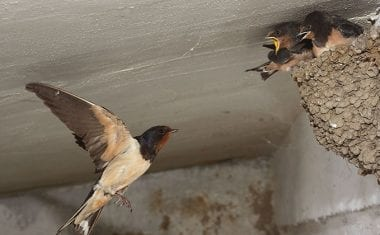 STIPA recuerda que golondrinas, aviones y vencejos son aves protegidas