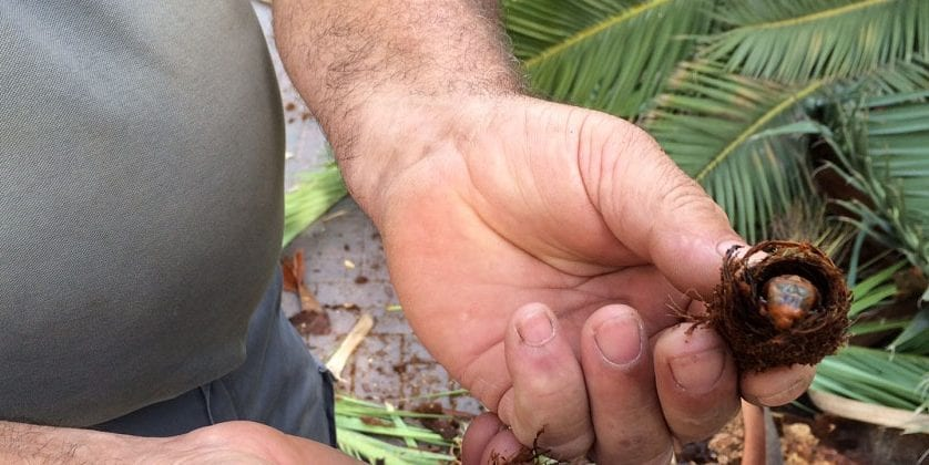 Esta noche se realizará un nuevo tratamiento contra el picudo en las palmeras de Jumilla