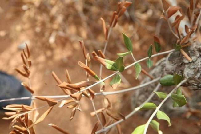"""Llega a la Península la """"Xylella fastidiosa"""" que en Italia ha destruido más de un millón de olivos"""
