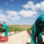 COAG, UPA, y ASAJA se unen ante los bajos precios de la uva