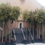 El Ayuntamiento aumenta las zonas verdes de las calles con 82 nuevos árboles