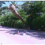 Arrancan del Paseo las siete palmeras afectadas por el picudo rojo