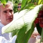 Jumilla lidera la producción regional de cereza