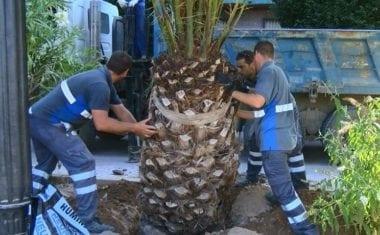 El Ayuntamiento repone en el Paseo las siete palmeras afectadas por el picudo rojo