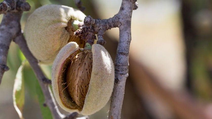 Alerta por el riesgo de la plaga de la avispilla de la almendra