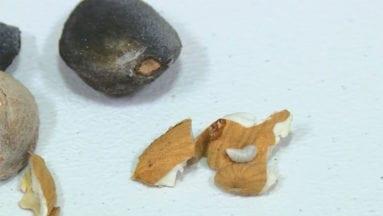 Larva en el interior de una almendra cuajada