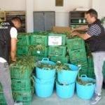 Un vecino de Jumilla lideraba una red a la que se le decomisaron 9.000 plantas de marihuana en dos invernaderos