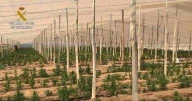 plantacion-marihuana-liderada-por-un-jumillano