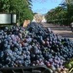 Los agricultores toman precauciones para evitar que se pudra la uva