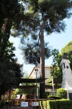 pino-centenario-jardin-don-pedro-jumilla