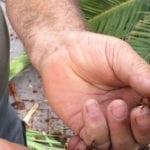 Las palmeras del municipio están recibiendo un nuevo tratamiento contra el 'picudo rojo'