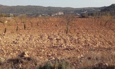 plantacion-almendros-jumilla