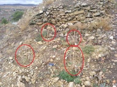 plantas-secas-camino-subidor-castillo-jumilla