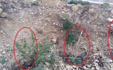 IU-V denuncia que muchas de las plantas del nuevo sendero del Castillo están secas por falta deriego