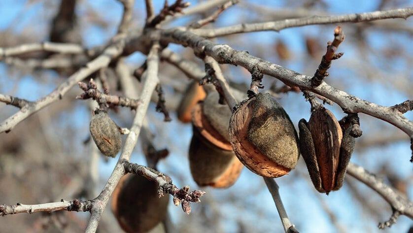 La presencia de la 'avispilla del almendro' se extiende a Blanca, Mula y Calasparra y son ya 5 los municipios afectados