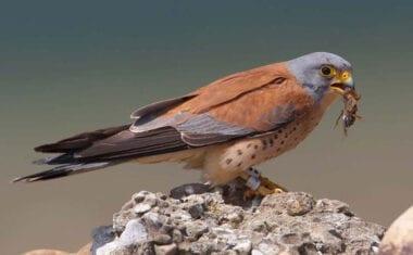 Nuevas zonas de nidificación para el cernícalo primilla