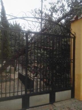 Ciprés volcado en el Cementerio Municipal