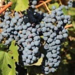 La D.O. Jumilla es pionera en el cultivo de viñedos ecológicos