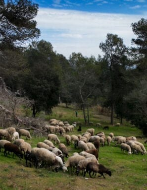 El pastoreo mantiene limpios los montes