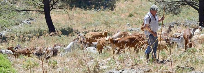 Ganadero caprino pastoreando por el monte