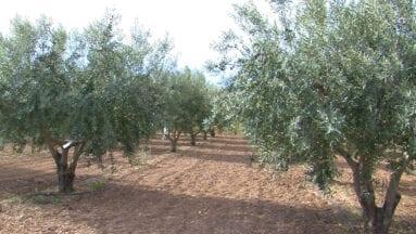 Jumilla cuenta con una amplia tradición en el cultivo del olivo