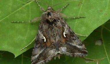 Mariposa Plusia o Polilla