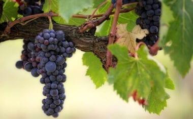 Empresas vinícolas murcianas ponen en riesgo el cultivo de la viña