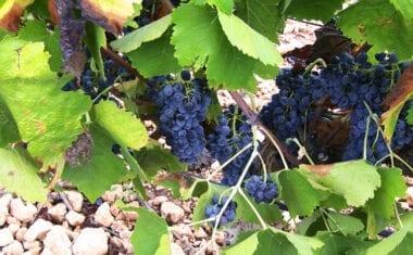 Más de 1.800 viticultores preparan la campaña de la vendimia en la D.O.P. Jumilla