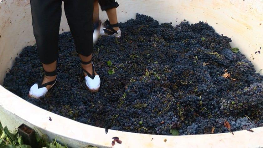 Se vendimiaron 1.000 kg de uva monastrell
