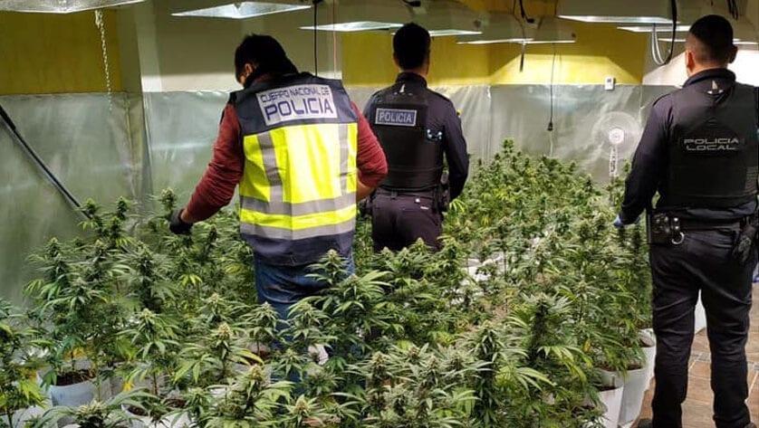 Incautadas 400 plantas de marihuana en una finca de la localidad