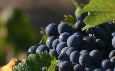 Tres meses ha durado la campaña de vendimia de la DOP Vinos Jumilla