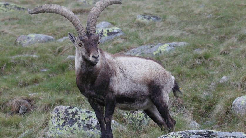 Sobre la petición de inclusión de la Cabra Montés como especie permitida en la caza de gestión de Jumilla
