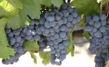 Las cooperativas esperan que la cosecha de uva sea menor que la del año pasado pero que mantenga la buena calidad