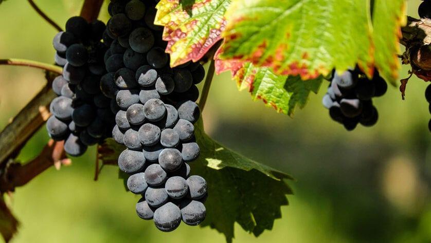 Convocatoria de ayudas a los viticultores para la cosecha en verde