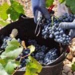 Máxima calidad en la uva de la DOP Jumilla