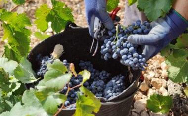 La UMU y el IMIDA trabajan para mejorar las características de los vinos de Jumilla