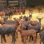 La Comunidad convoca ayudas para explotaciones ovinas y caprinas con dificultades de comercialización por la Covid-19