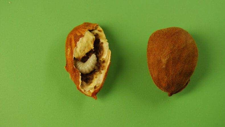 Larva en el interior de una almendra