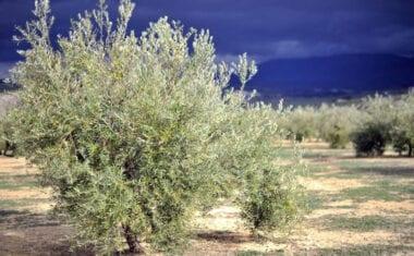 Los agricultores de Jumilla denuncian el lanzamiento de cohetes antigranizo estos últimos días