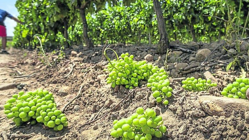 COAG apuesta por la cosecha en verde como medida para abordar la crisis vitivinícola por el Covid-19