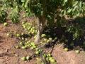 """Devastador """"golpe de calor"""" para los cultivos de la Región"""
