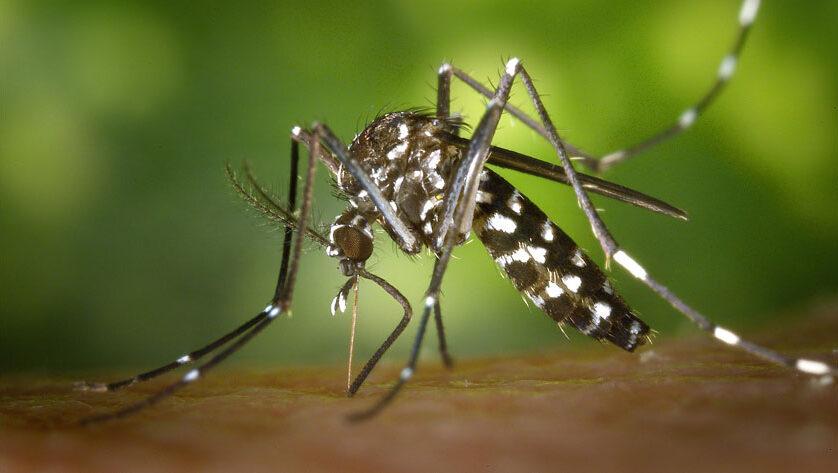 Salud recomienda evitar acúmulos de agua para impedir focos de cría del mosquito tigre